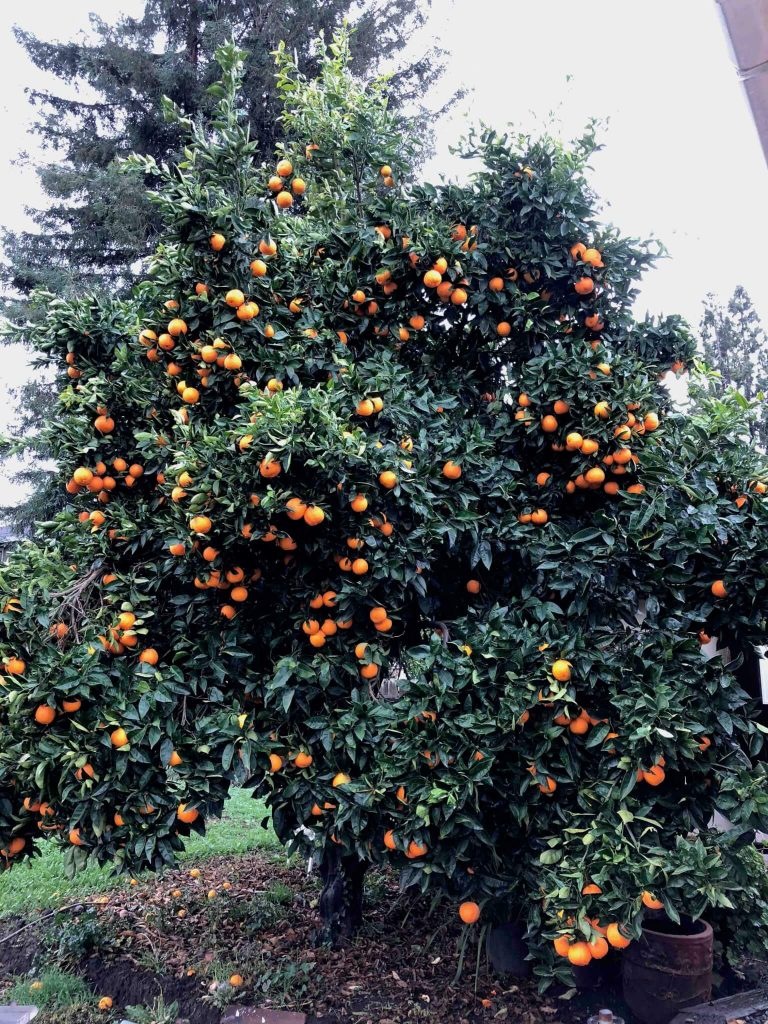 5-types-citrus-trees-garden