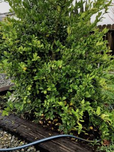 Mexican Lime Citrus Tree
