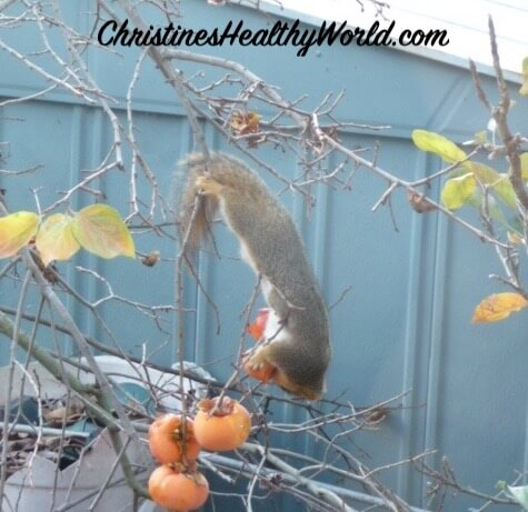 Squirrels in the garden persimmon eating